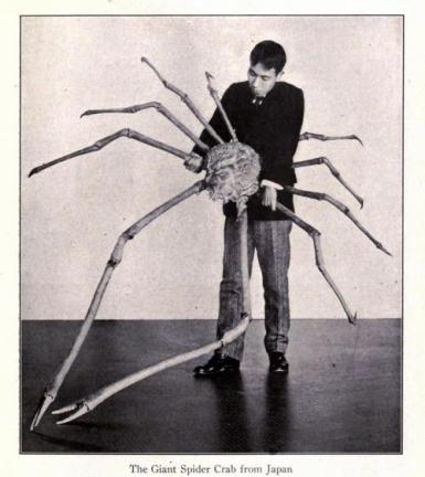 giant spider crab japan