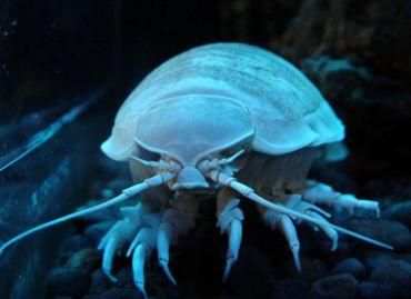 strange-sea-creatures-isopods1