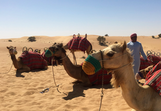 Rheema, Safiya and more of our camel friends