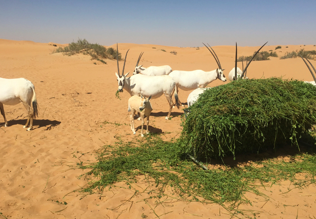 An oryx family on the move