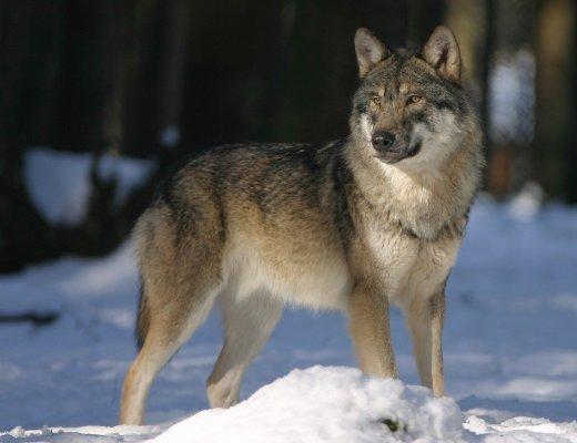 Donne che corrono coi lupi (immagine via Pixabay)