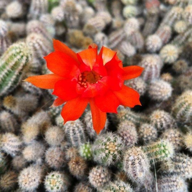 Fiore di cactus (via Instagram, @rita_fortunato)