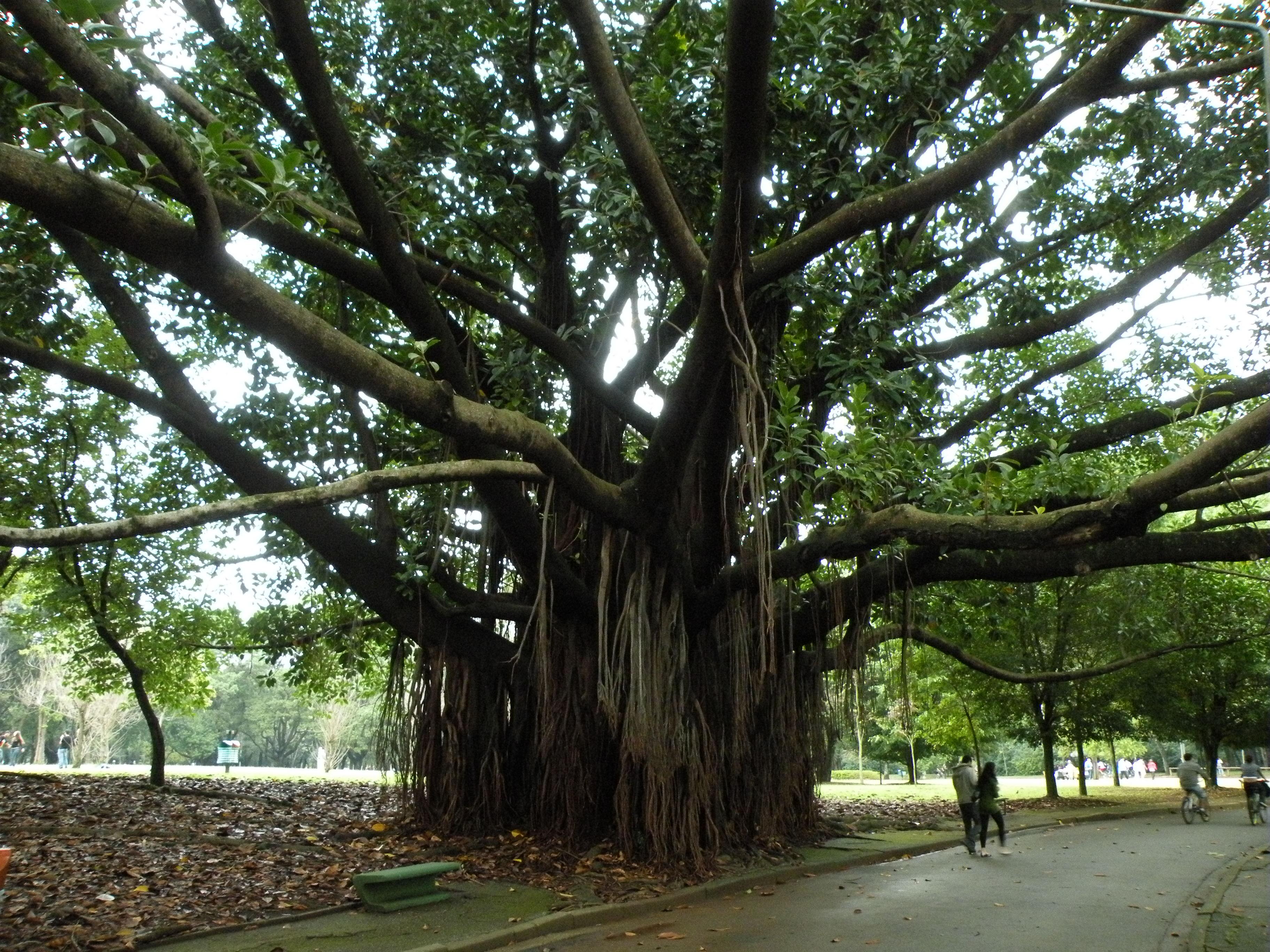Mata atl ntica versus plantas ex ticas um grande equ voco - Ficus elastica cuidados ...