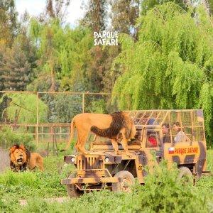 Safari Grandes Felinos
