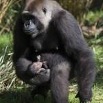 Cuarto nacimiento de gorila apoya el Plan de Supervivencia de las Especies AZA