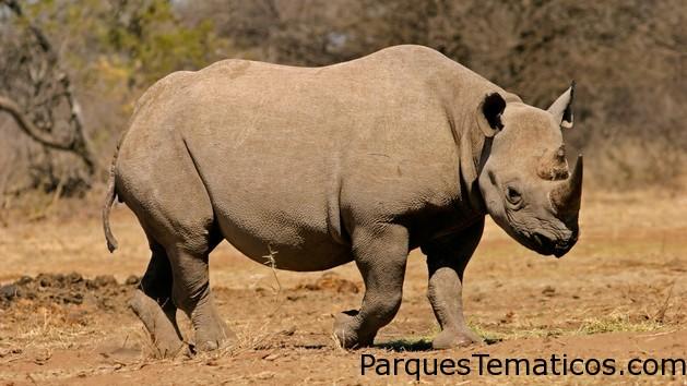 Rinocerontes africanos