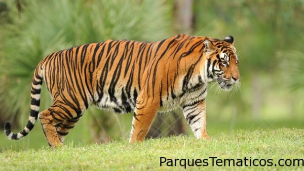 Tigres Asiáticos