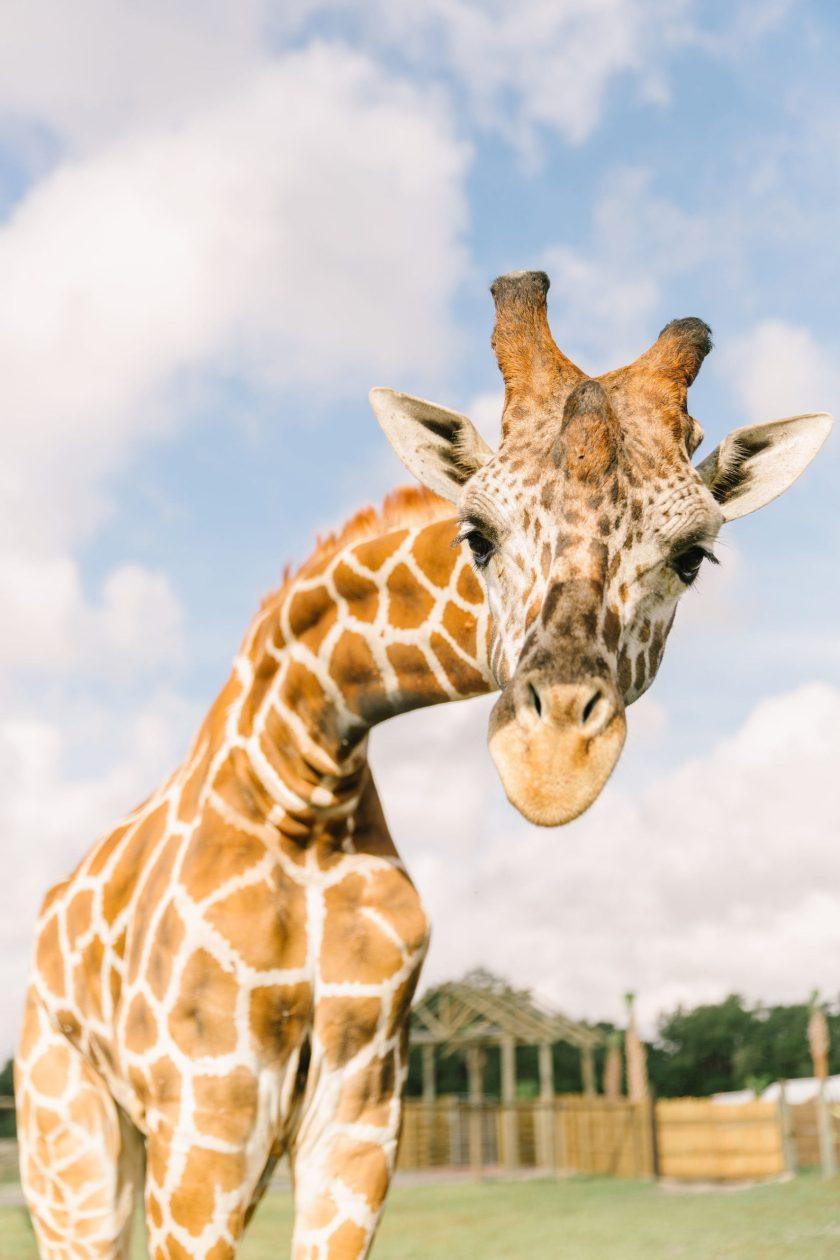 Wild Florida mantendrá abierto el parque safari en coche para los huéspedes