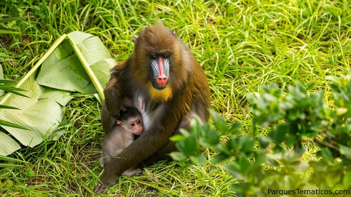 Disney's Animal Kingdom le da la bienvenida a un bebé Mandrill