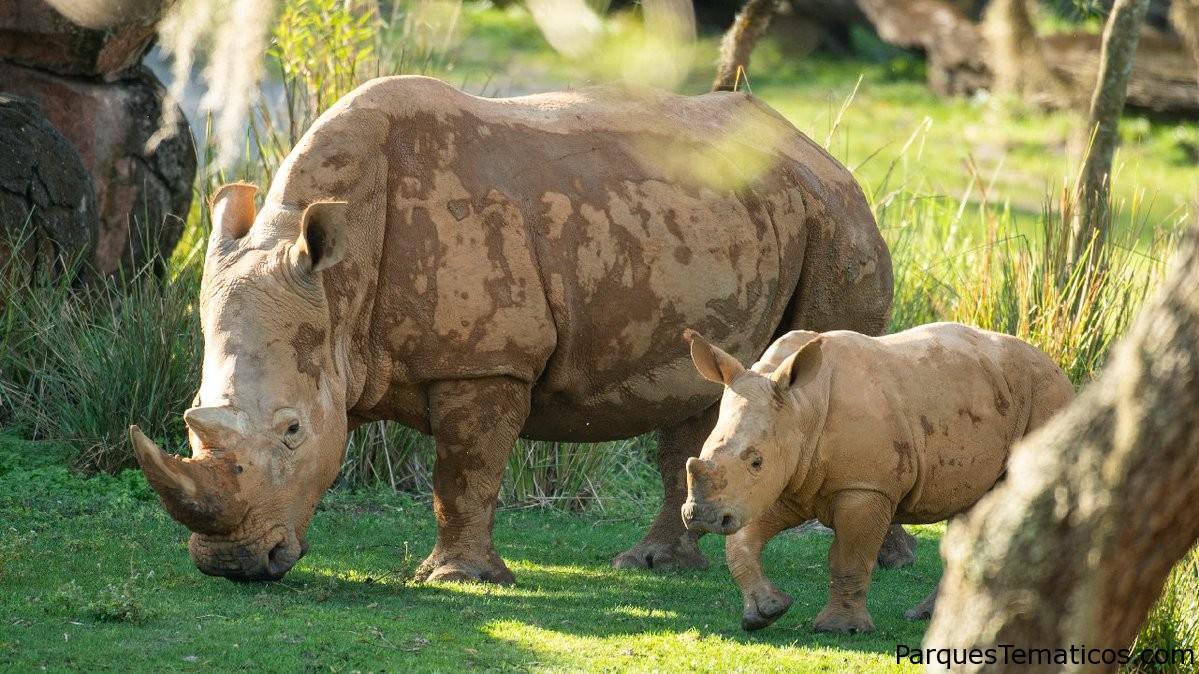 Ranger el ternero rinoceronte se une a la manada en Kilimanjaro Safaris