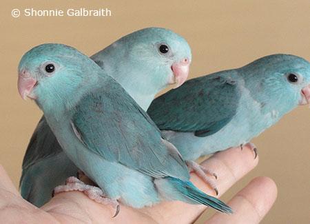 parrotlets parrotfeather com
