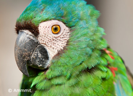 severe macaw chestnut fronted