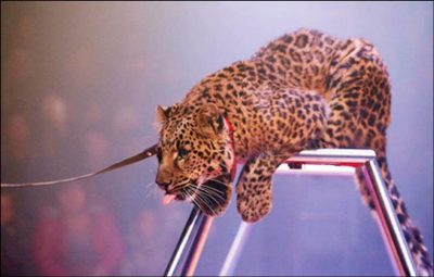 Panic as leopard shows up in court