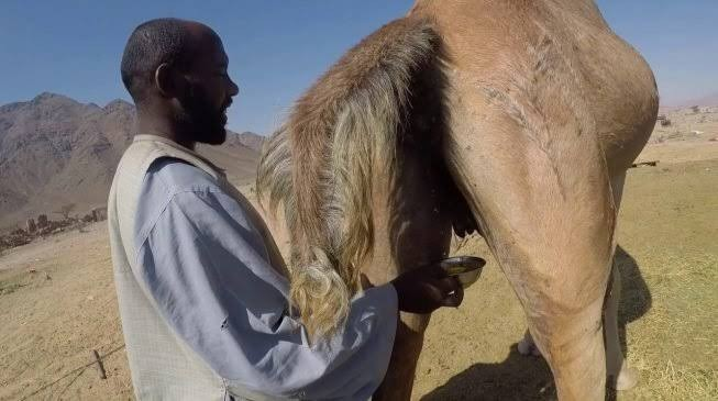 CDD FACT CHECK: Can camel urine, lime cure coronavirus?