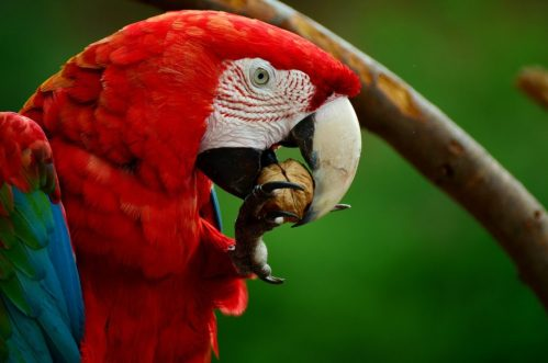 Red Macaw parrot eating nuts
