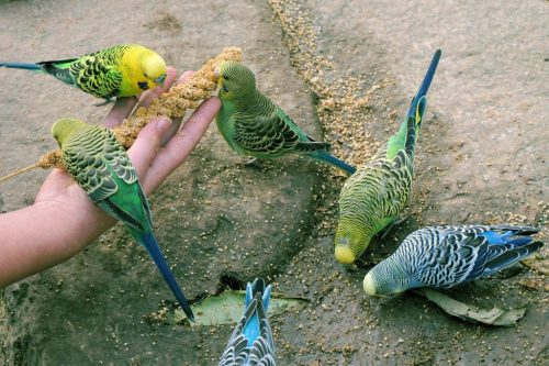Budgerigar eating seeds on hand