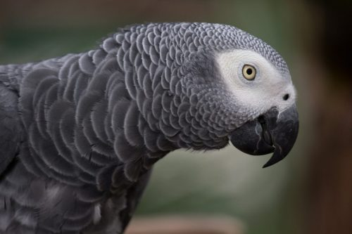 Close up picture of African grey parrot showing its face from one side.Beautiful bird