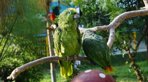 Which parrot type has the best talking ability - Parrots Joy