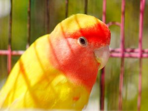 Cute yellow parrot with reddish color around its neck
