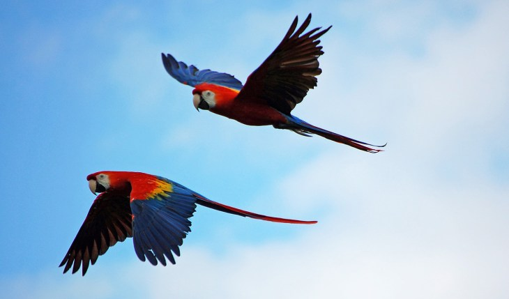 Macaw parrot couple flying in air.Their wings are not clipped