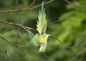A wild ring-neck parrot aming to fly