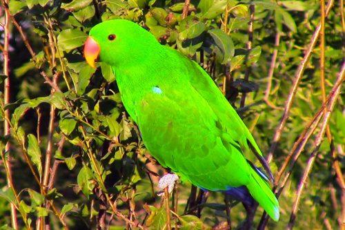 Male Eclectus Parrots