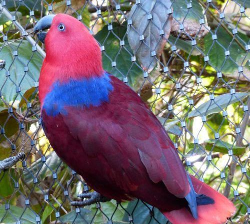 Red Female Electus parrot sitting on tree
