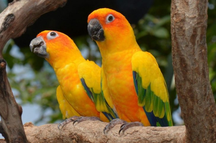 Sun conure parrot couple sitting on tick branch of tree