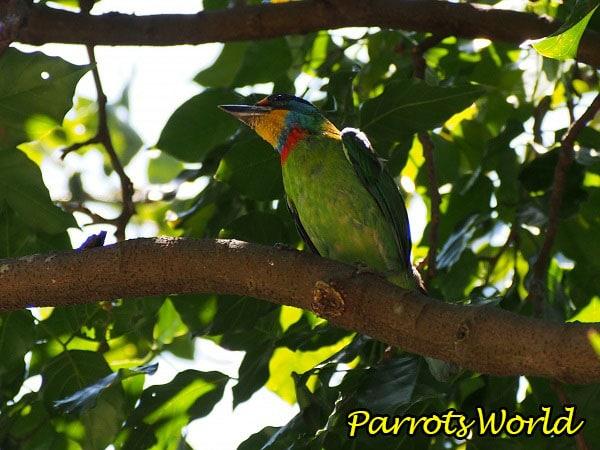 Дятловый попугая