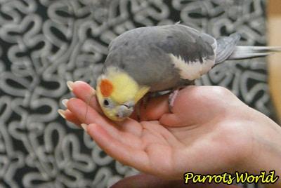 Làm thế nào để dạy để nói chuyện với Parrot Corella: ĐẶC ĐIỂM ĐÀO TẠO