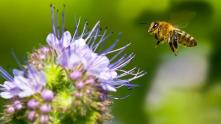 honeybee-purple-flower.jpg.adapt.945.1
