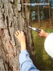 Tapping the spile into the maple tree