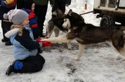 Meeting a sled dog at the Seguin Sled Dog Mail Run