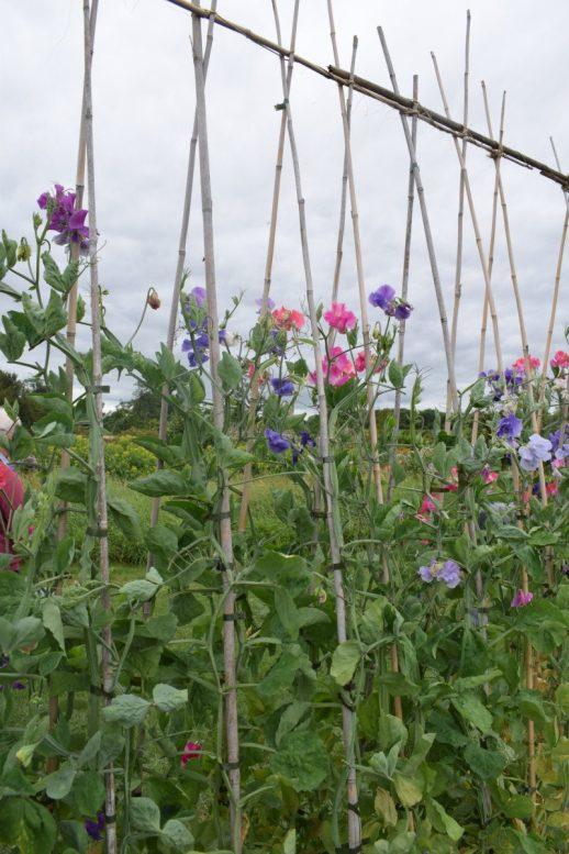 Flower garden lavender farm Somerset