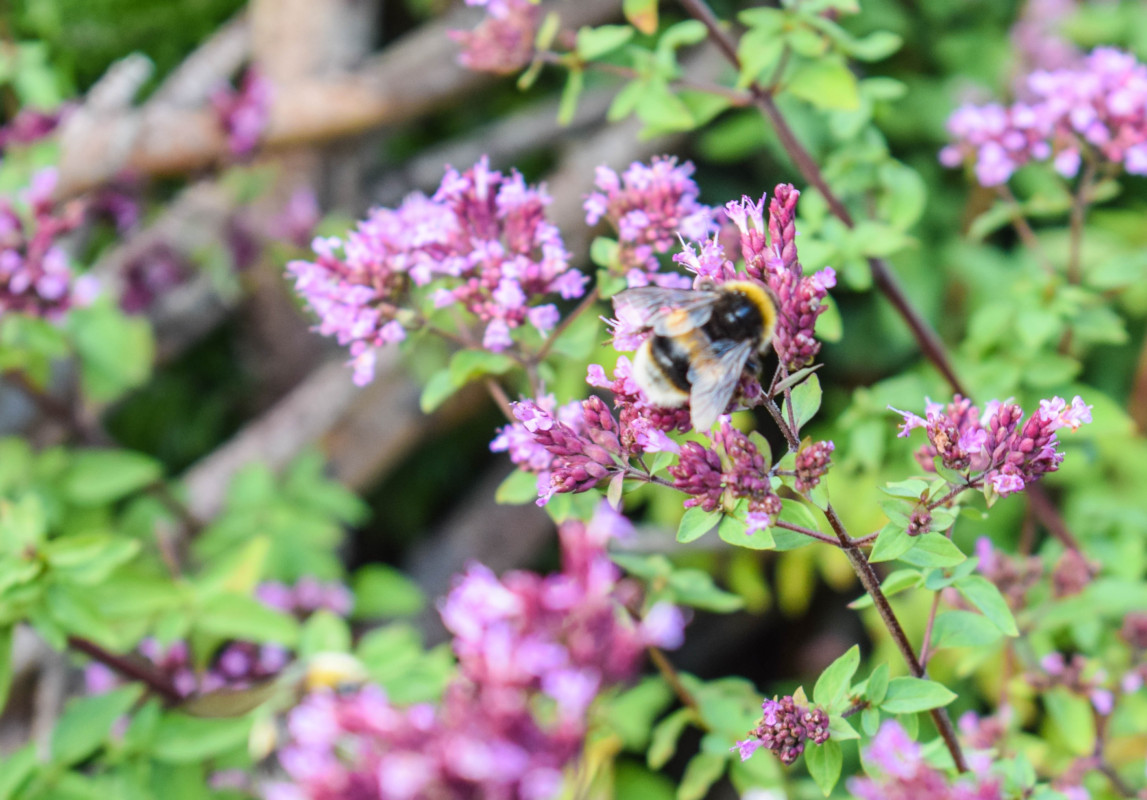Bristol Botanic Gardens bee