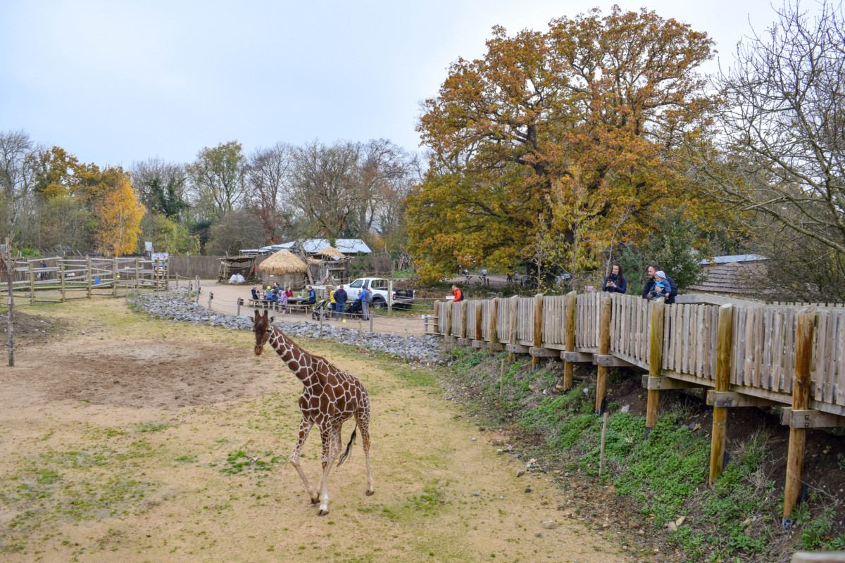 Wild Place Bristol giraffe