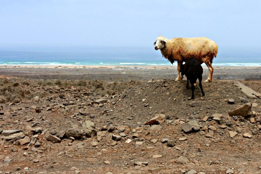 Caprette a Cofete, Fuerteventura