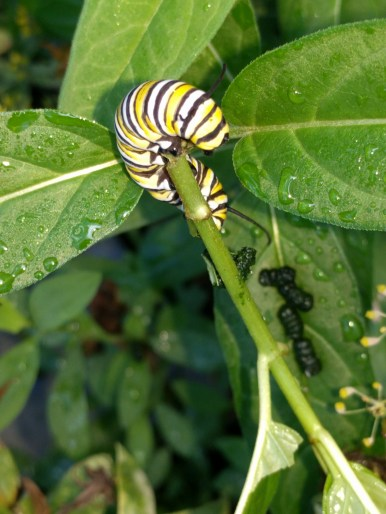 Monarch caterpillar on new milkweed plant
