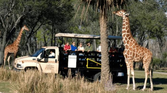 Saiba como é o passeio do Wanyama Safari, uma experiência com mais de 30 animais no Animal Kingdom, além de um jantar no melhor restaurante do parque.