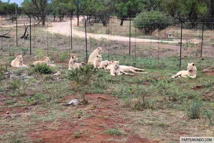 Lion and Safari Park 11