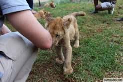 Lion and Safari Park 23
