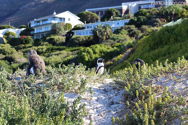 rsz_visiting_the_penguins_at_boulders_beach_14