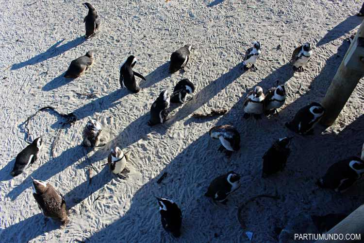 rsz_visiting_the_penguins_at_boulders_beach_15