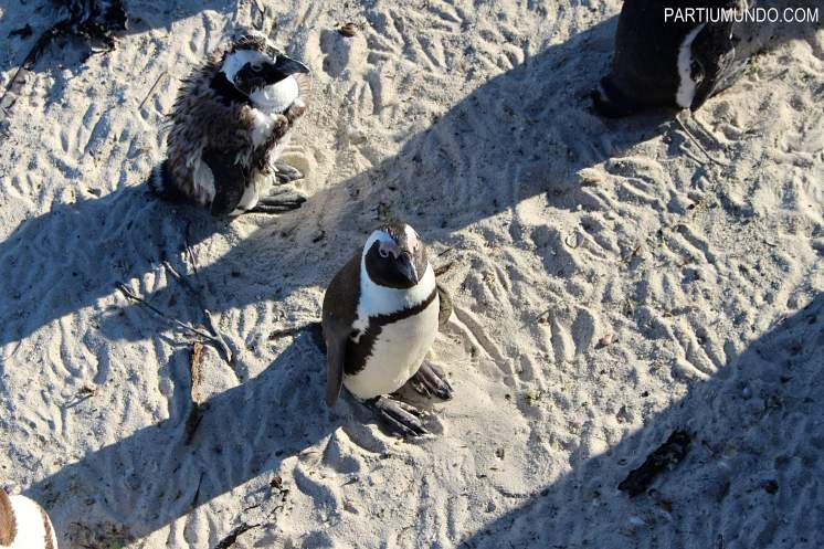 rsz_visiting_the_penguins_at_boulders_beach_24