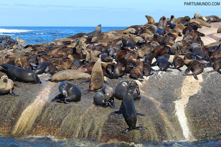 Visiting the seals at Duiker Island, Cape Town