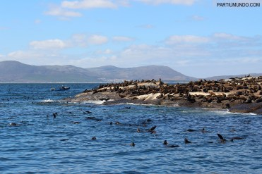Visiting the seals at Duiker Island, Cape Town 14
