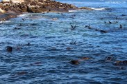 Visiting the seals at Duiker Island, Cape Town 19