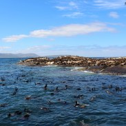 Visiting the seals at Duiker Island, Cape Town 23