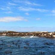 Visiting the seals at Duiker Island, Cape Town 24