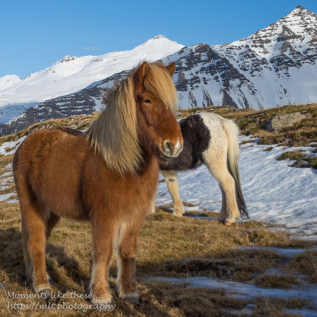"Icelandic horses - ""Food photography"""